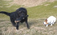 labradoodle, jack russell, wiltshire walks
