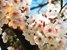 Cherry Blossom-Korea