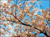 Cherry Tree-Korea