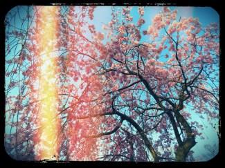 Cherry Tree Yeongsan
