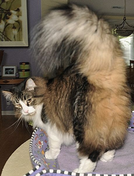 Parfum de fund de pisică