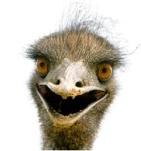 not tired emu