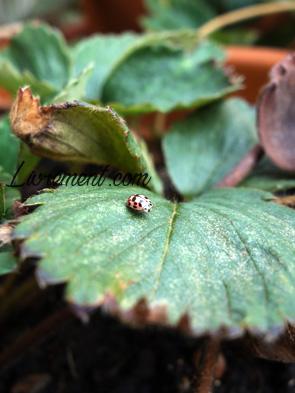 Petite coccinelle sur la feuille d'un fraisier