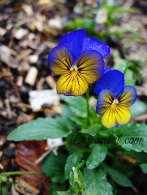 Pensée violette et jaune