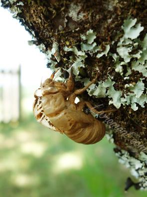 Mue d'un scarabée