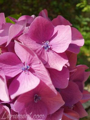 Fleurs roses d'un hortensia