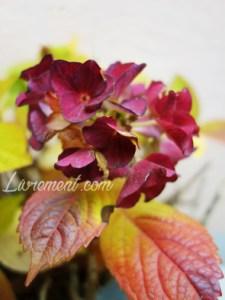 Boule de fleurs d'hortensia en automne