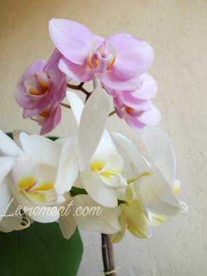 Orchidées phalaenopsis en fleur