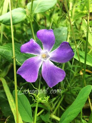 Fleur pervenche prise en photo par Livrement