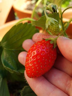 Premières fraises de 2020