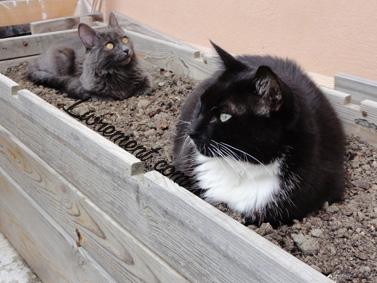 Chats allongés sur la terre, bac à tomates