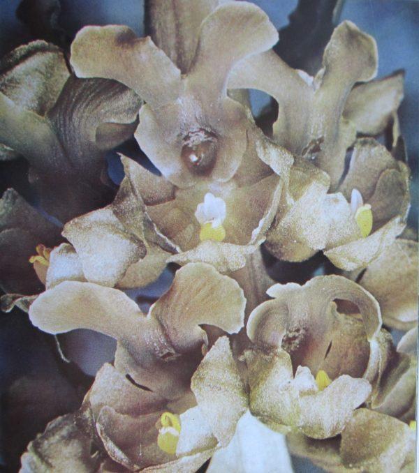 Orchidées de chez nous