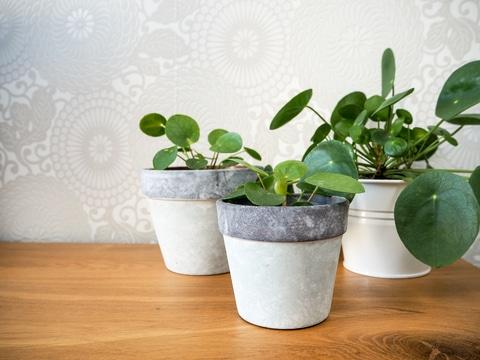 Planter-entretenir-pilea-plante-piece-chinoise.