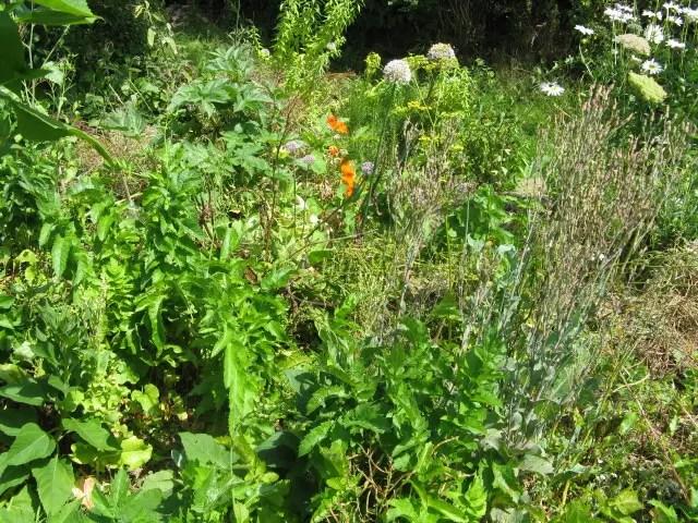 jardin en permaculture avec des plantes qui montent à graine