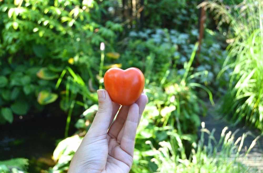 hvornår sætter man tomater