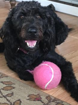 Lucy Lue our F1 Labradoodle