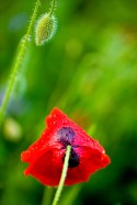Another type of poppy.