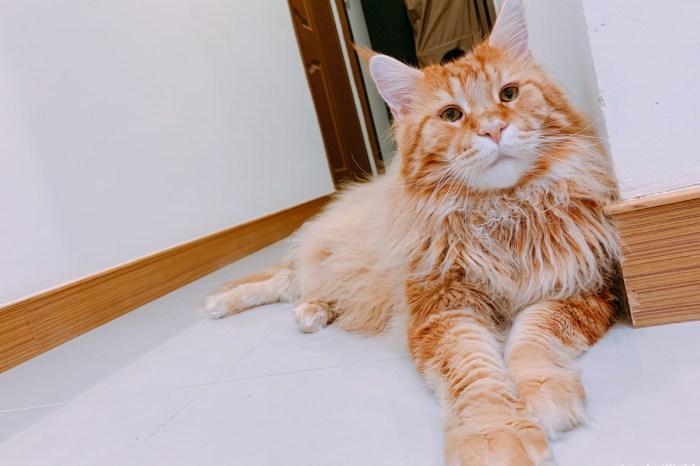 【貓咪醫療】貓咪也要割雙眼皮?|緬因貓 Maine Coon 眼瞼內翻睫毛倒插|慈恩動物醫院