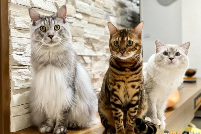 【貓咪飲食】我們家的貓都吃菲力牛排 緬因貓 豹貓 布偶貓 俄羅斯藍貓