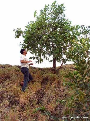 Bang Thunis yang bela-belain manjat pohon jemblang demi beberapa bijinya yang menghitam