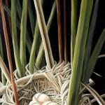 Yellow Headed Blackbird (nest)