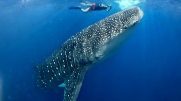 Belize Diving Whale Shark