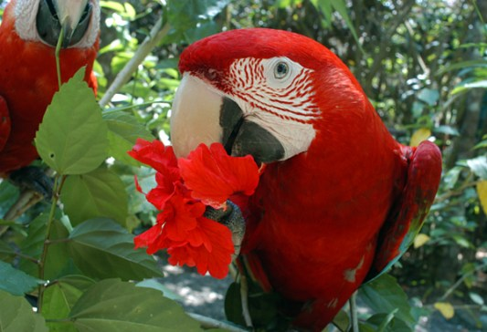 Scarlet-Macaw-and-hibiscus