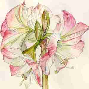Watercolour - Pink amaryllis flower painting