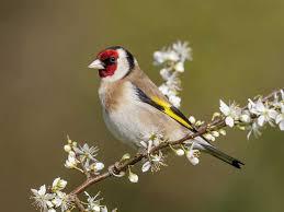 goldfinch-on-branch-web
