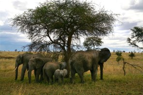 A family of elephants huddles under a tree in the Serengeti National Park, October 14, 2011.