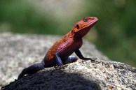 A lizard warms itself in the sun in the Serengeti National Park, October 14, 2011.​