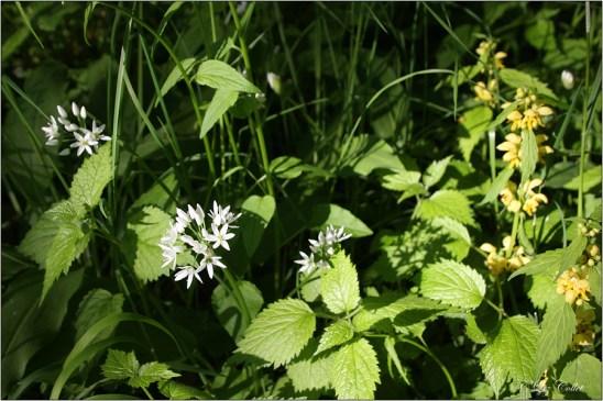 Goldnessel am Waldrand © Liz Collet, lamium galeobdolon, gewöhnliche goldnessel, gold-taubnessel, Wild Garlic, Bärlauch, Bärlauchblüte