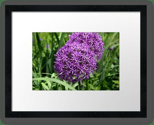 Allium cristophii, Star of Persia © Liz Collet