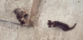 Pisicute