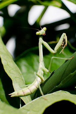 Male Praying Mantis