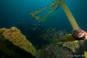 Zooanthids and fish on the SS Coogee