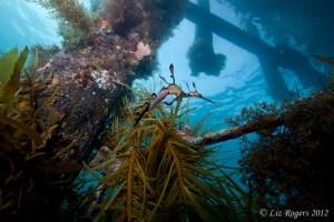 Seadragons under Flinders Pier