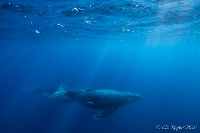 Cruising whales in sunshine