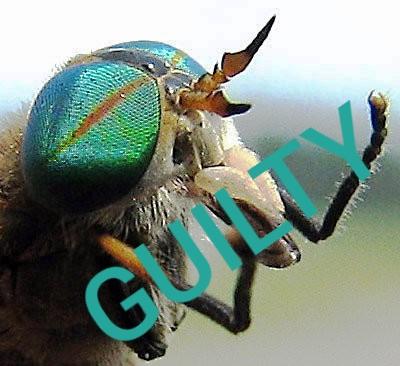 Greenhead Fly