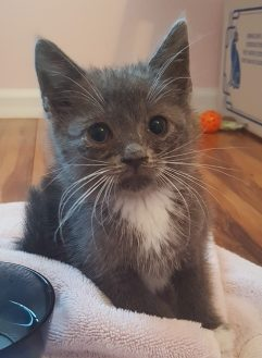 Gray and white kitten with runny nose
