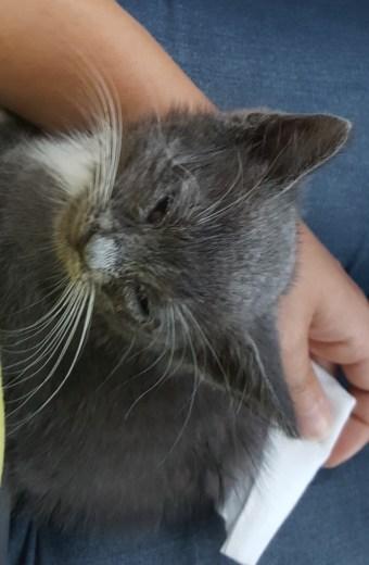 very sick gray kitten