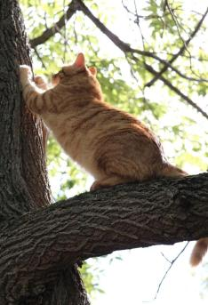 Orange striped cat scratching tree.