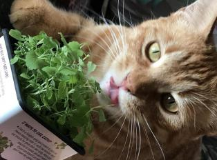 Orange cat with catnip.