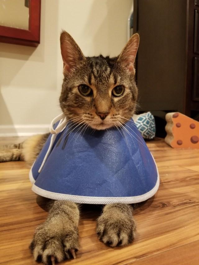 cat in collar