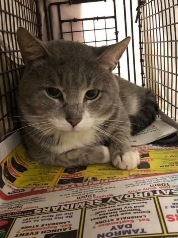 Gray and white cat in trap
