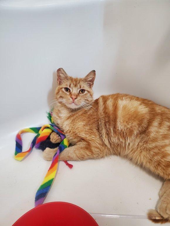 orange tabby cat holding toys