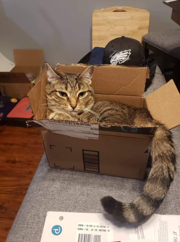 Tabby cat in box