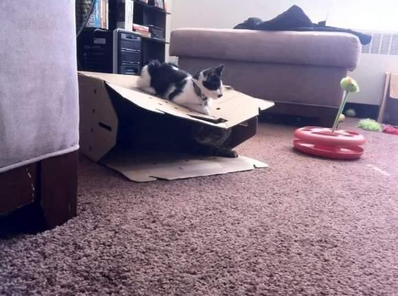 Tuxedo kitten on box