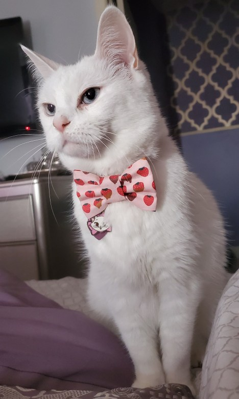 white cat with bow tie
