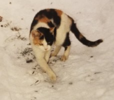Calico cat walking in the snow
